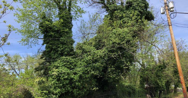 Stop Invasive Vines in Takoma Park